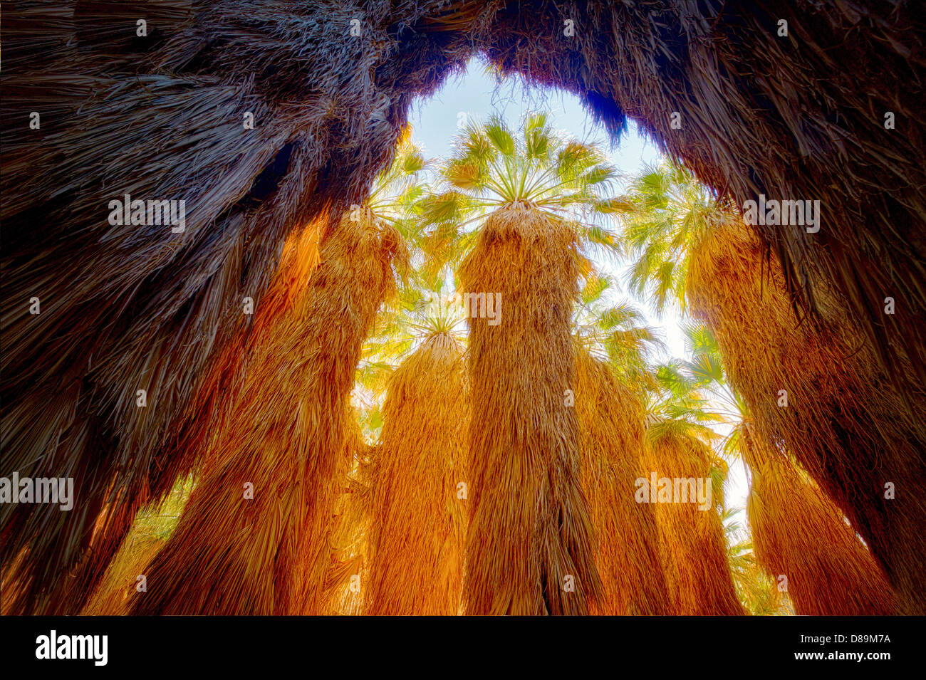 Looking up into grove of California Fan Palm. Coachella Valley Preserve. California - Stock Image
