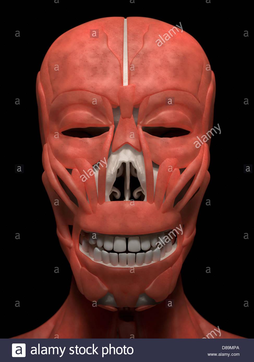 Digital Medical Illustration Anterior Front View Of Human Skull