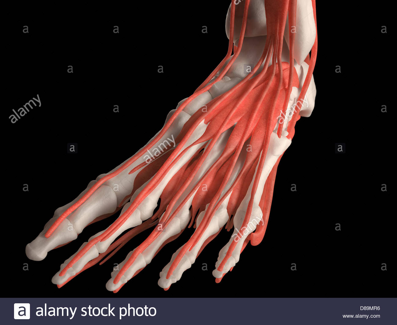Digital medical illustration: Top view of human foot (skeleton with ...