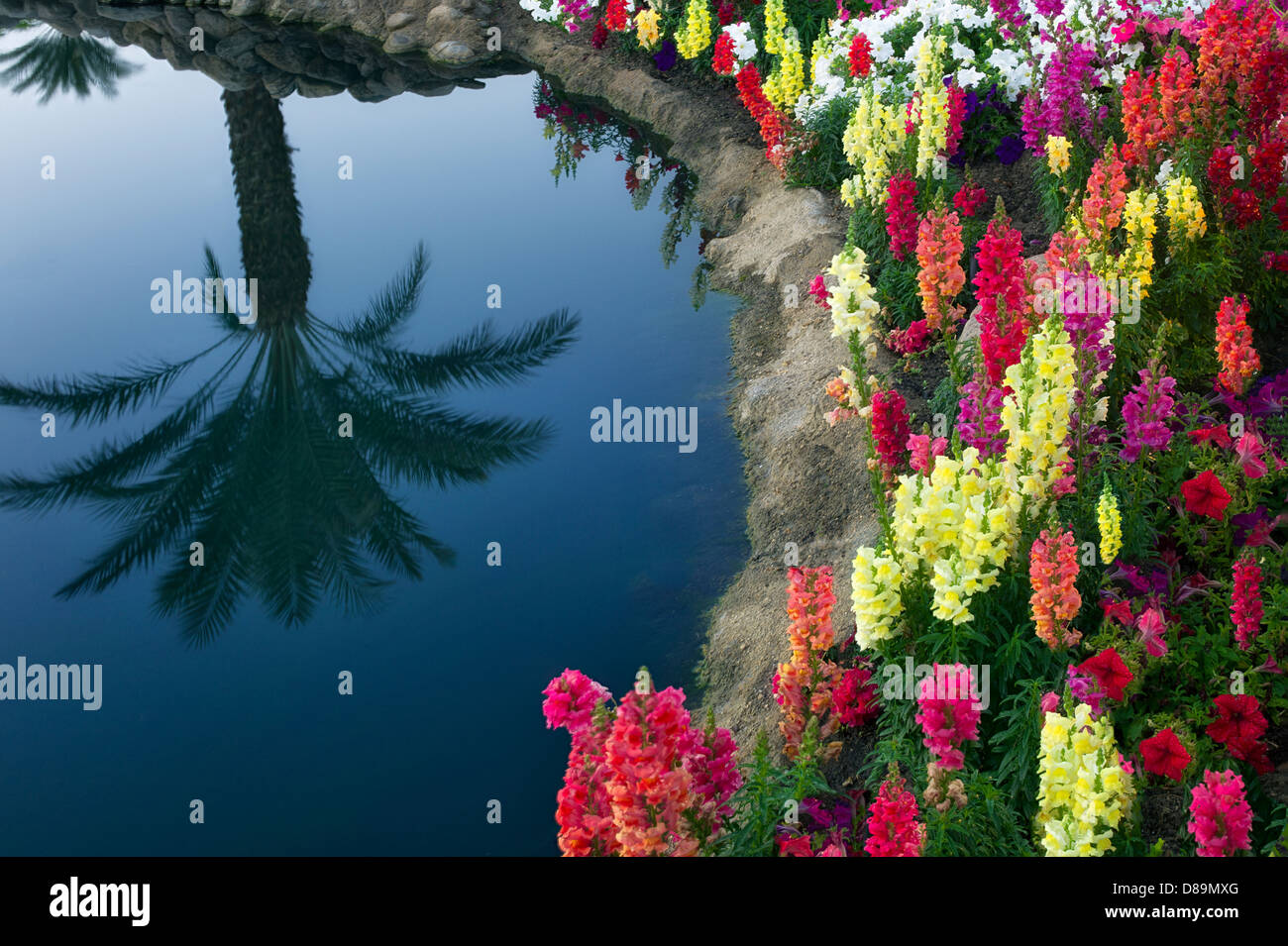 Garden flowers with palm tree reflection. Palm Desert, California - Stock Image