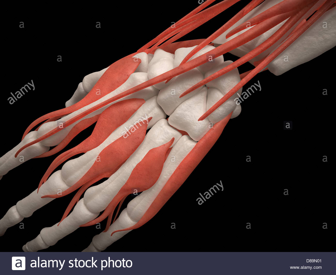 Digital medical illustration: Top view of human hand (skeleton with muscles). - Stock Image
