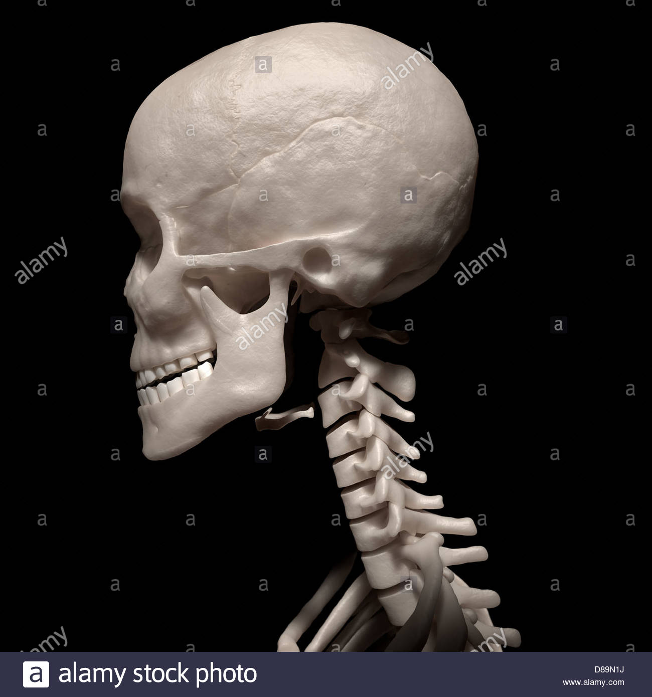 Digital Medical Illustration Lateral Side View Of Human Skull And