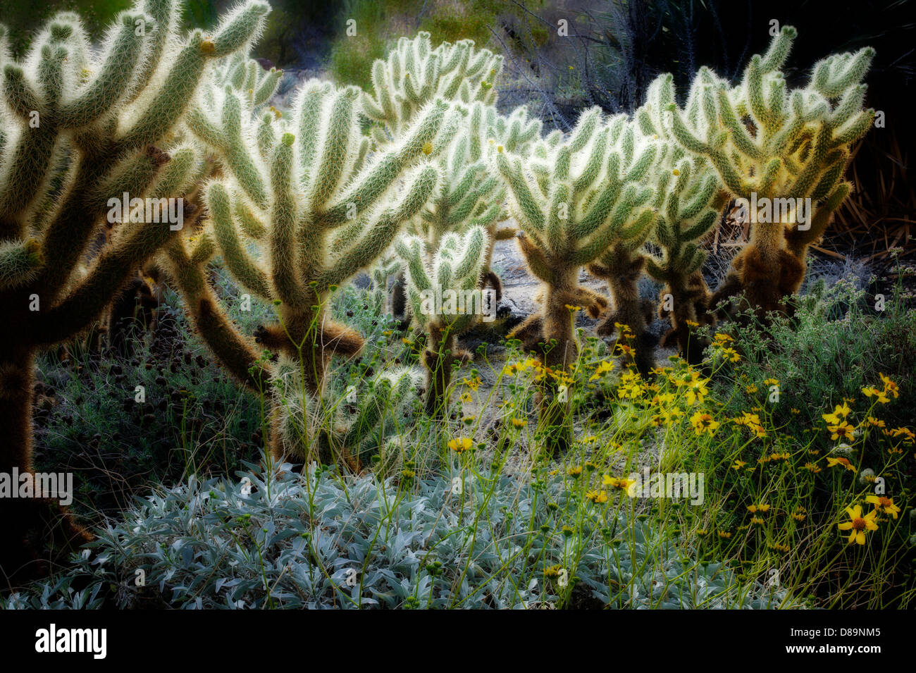 Cholla cactus and Brittle Bush. The Living Desert. Palm Desert, California - Stock Image