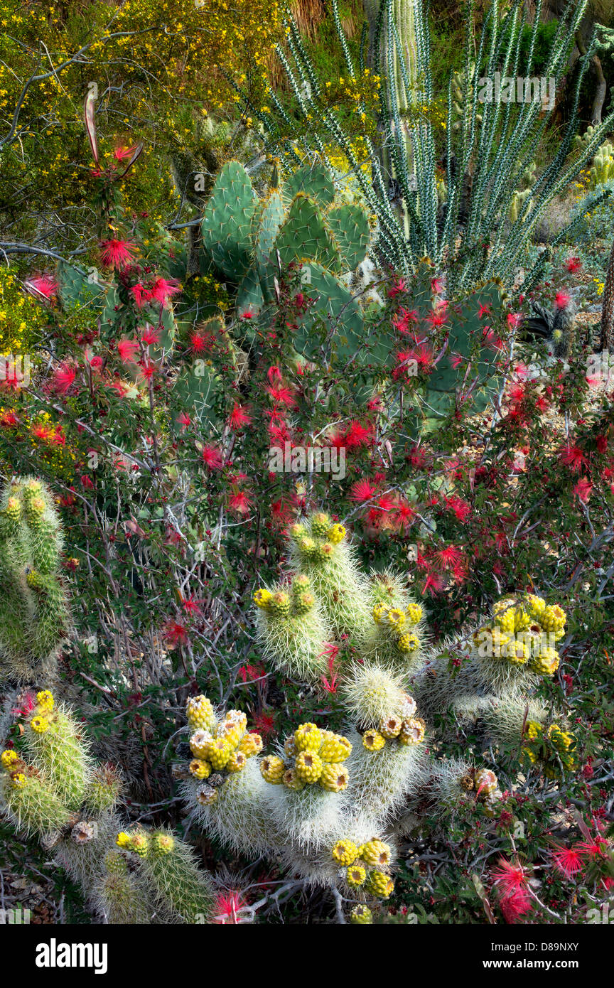 Cactus garden with cholla, prickly pear, ocotillo, and other flowers.,The Living Desert. Palm Desert, California - Stock Image