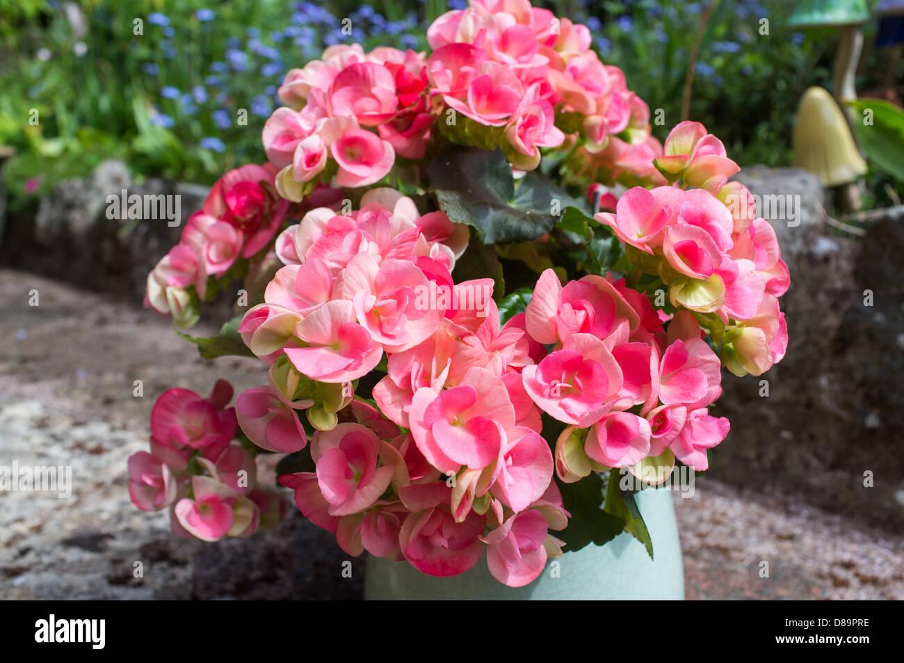 Begonia Is A Genus Of Perennial Flowering Plants The Genus Contains