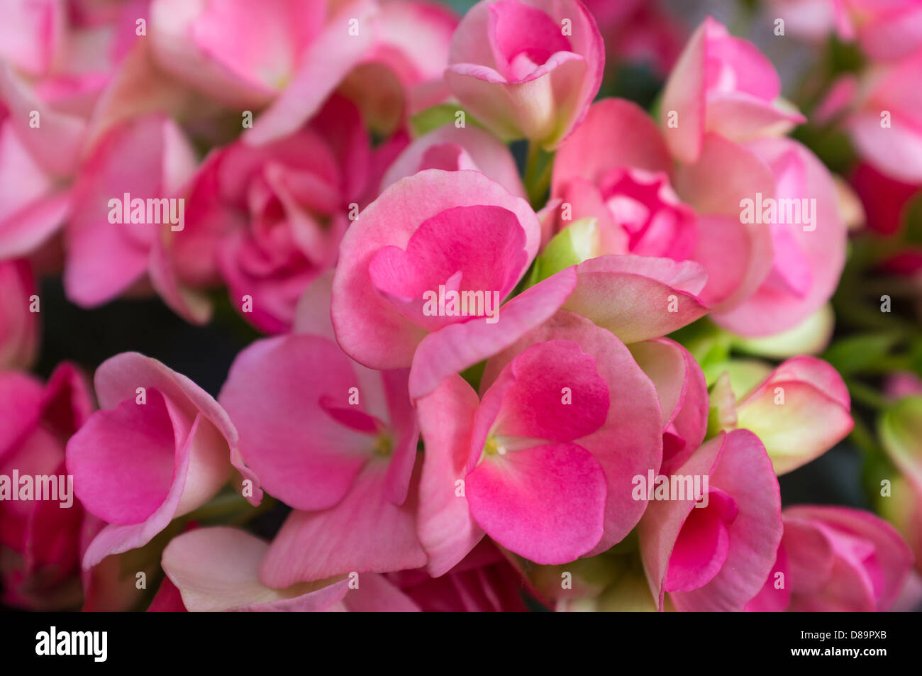 Begonia is a genus of perennial flowering plants the genus contains begonia is a genus of perennial flowering plants the genus contains about 1400 different plant species natives of tropics mightylinksfo