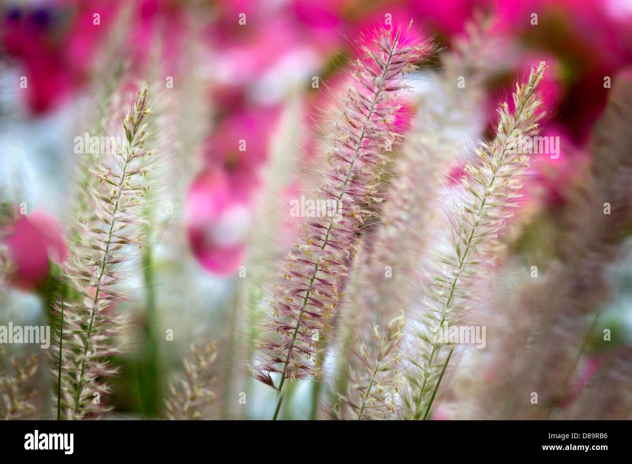 Ornamental grasses and flowers. Palm Desert, California - Stock Image