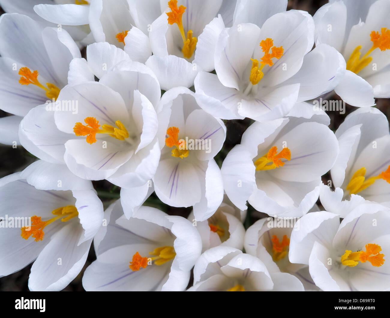 Blooming white crocus. Oregon - Stock Image