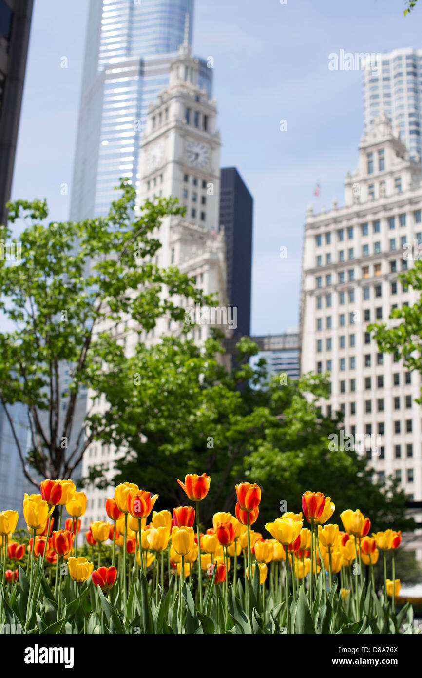wrigley building with walkway overpass visible and trump international with tulips in foreground during the spring - Stock Image