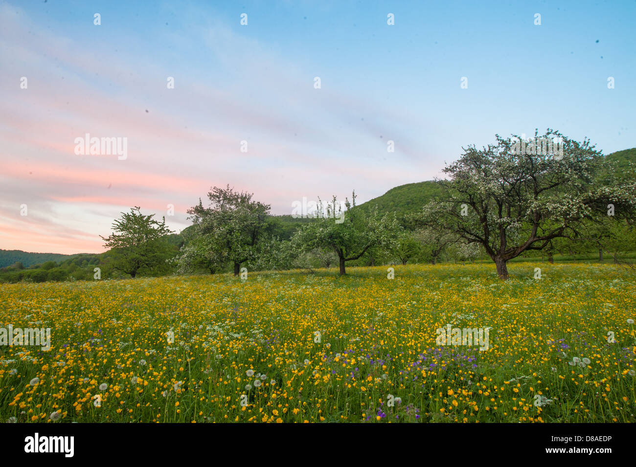 wildflower meadow with flowering fruit trees,buttercups and other flowers in spring, Biosphere Reserve Schwaebische - Stock Image