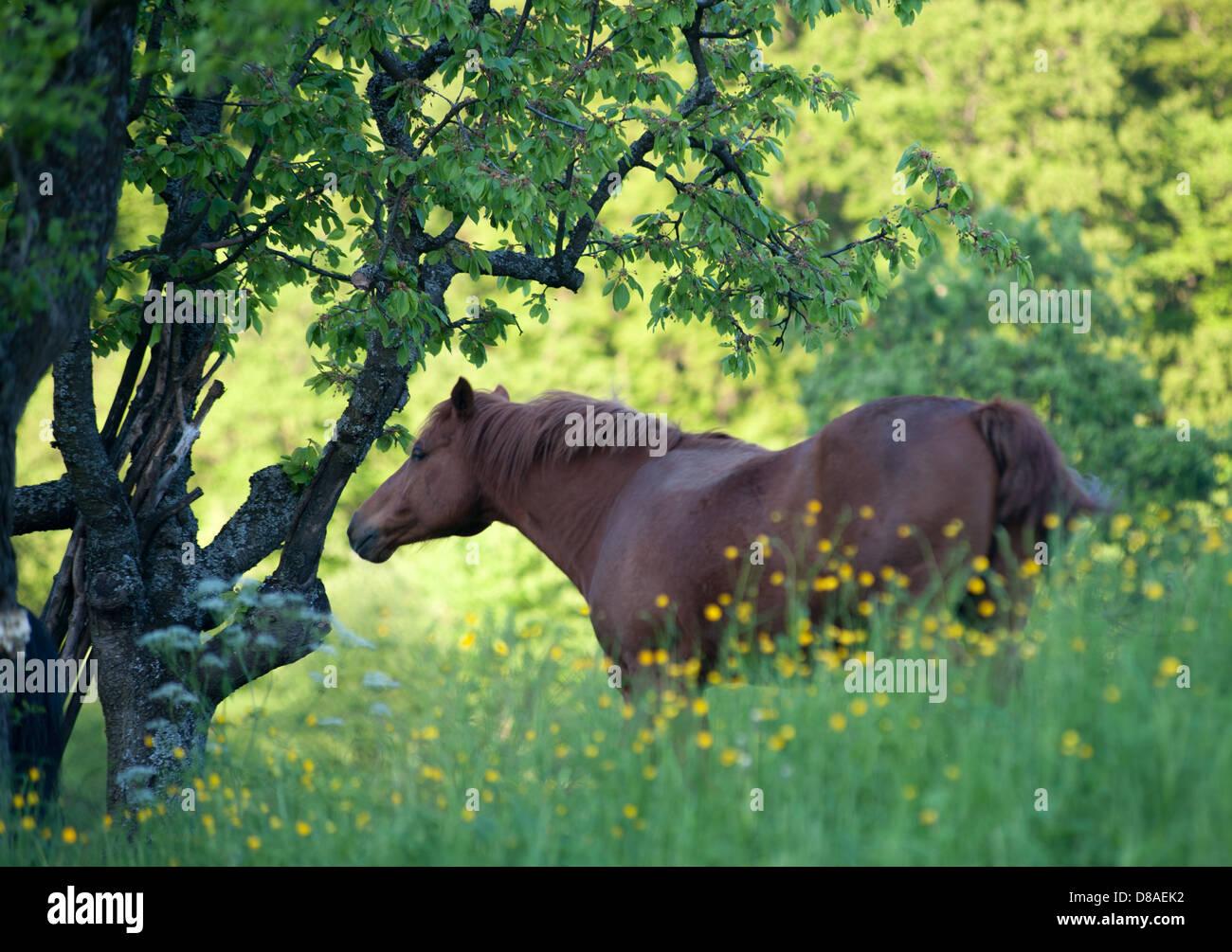 brown horse in flower meadow with fruit trees, Schwabian Alb Biosphere Reserve/Schwaebische Alb Biosphaeren Reservat,Germany - Stock Image