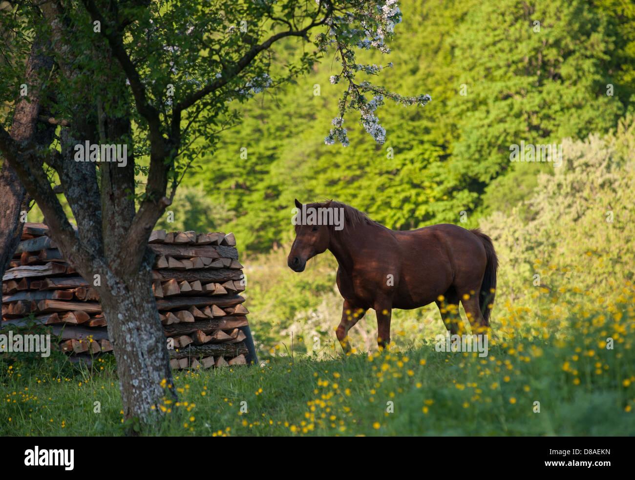 brown horse in flower meadow with fruit trees, Germany, Schwaebische Alb - Stock Image