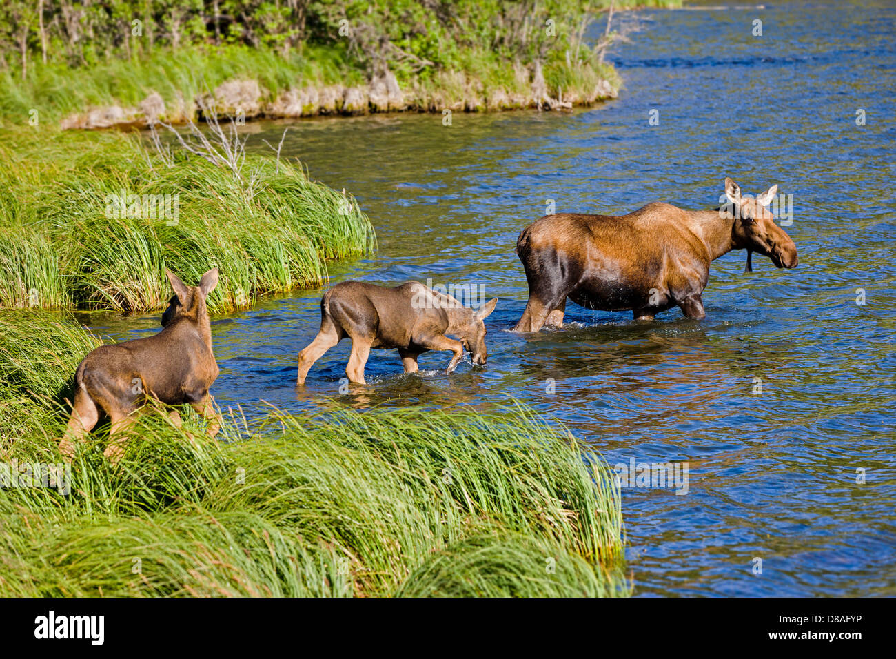 Female Moose and two calves swimming in the Town Lake, Chitina, Alaska, USA - Stock Image