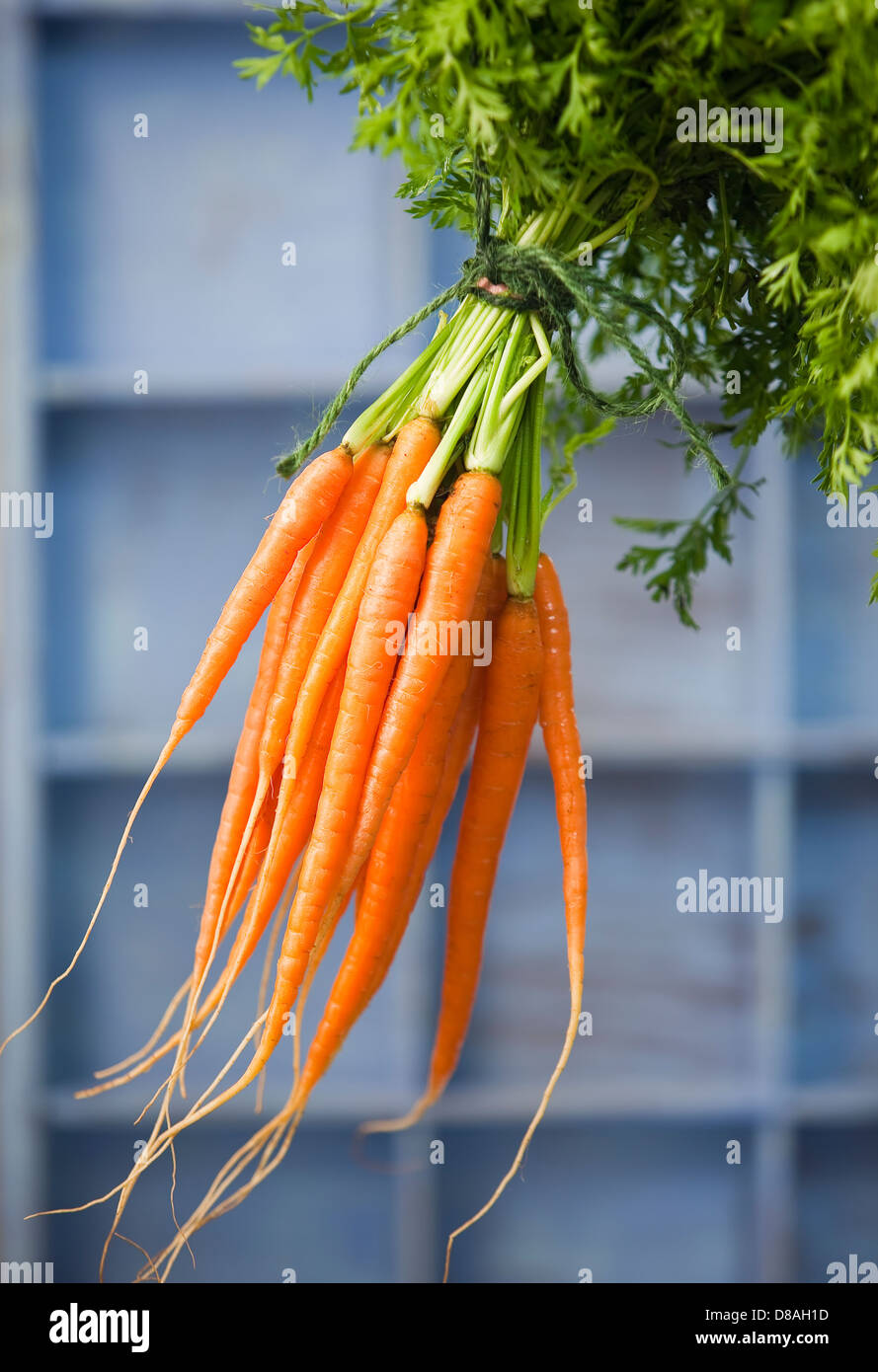 A bunch of fresh Dutch carrots with green tops still in tact, tied together with green string. - Stock Image
