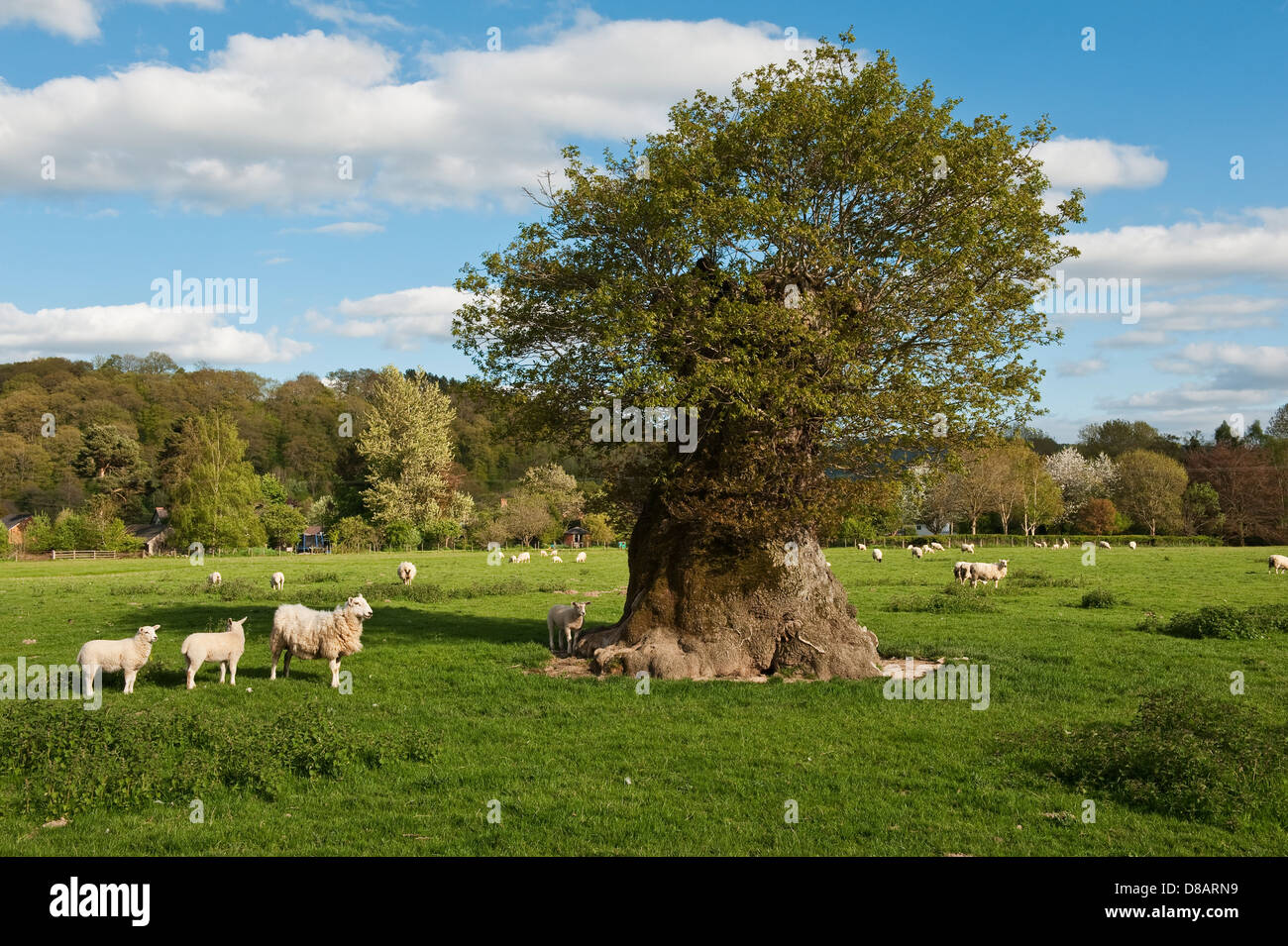 An ancient pollarded oak tree at Lingen, Herefordshire, UK - Stock Image