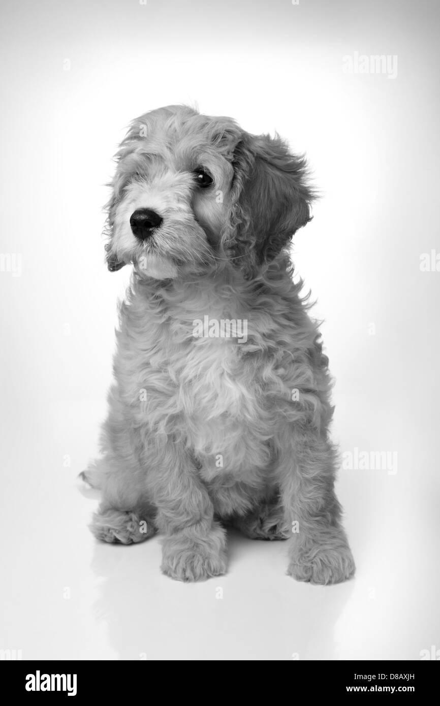 Poodle Dog Black and White Stock Photos & Images - Alamy