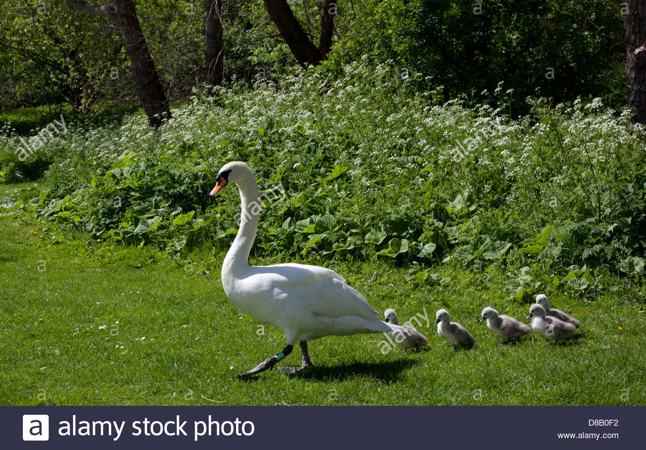 Mute Swan (Cygnus olor) mother (Pen) leading line of five cygnets across grass to pond, Edinburgh, Scotland UK Europe - Stock Image