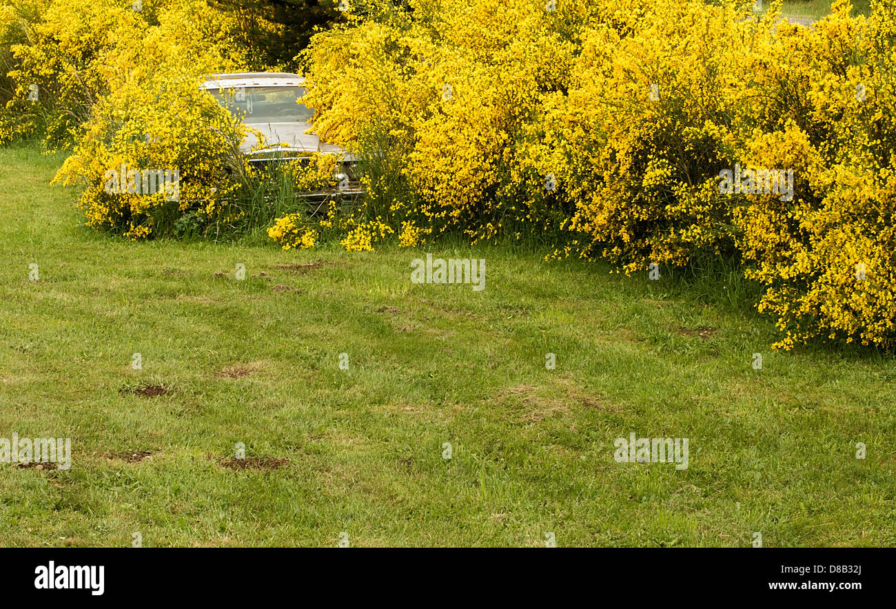 Abandoned car taken over by Scotch Broom plants in bloom in Olympia, Washington State, USA. - Stock Image