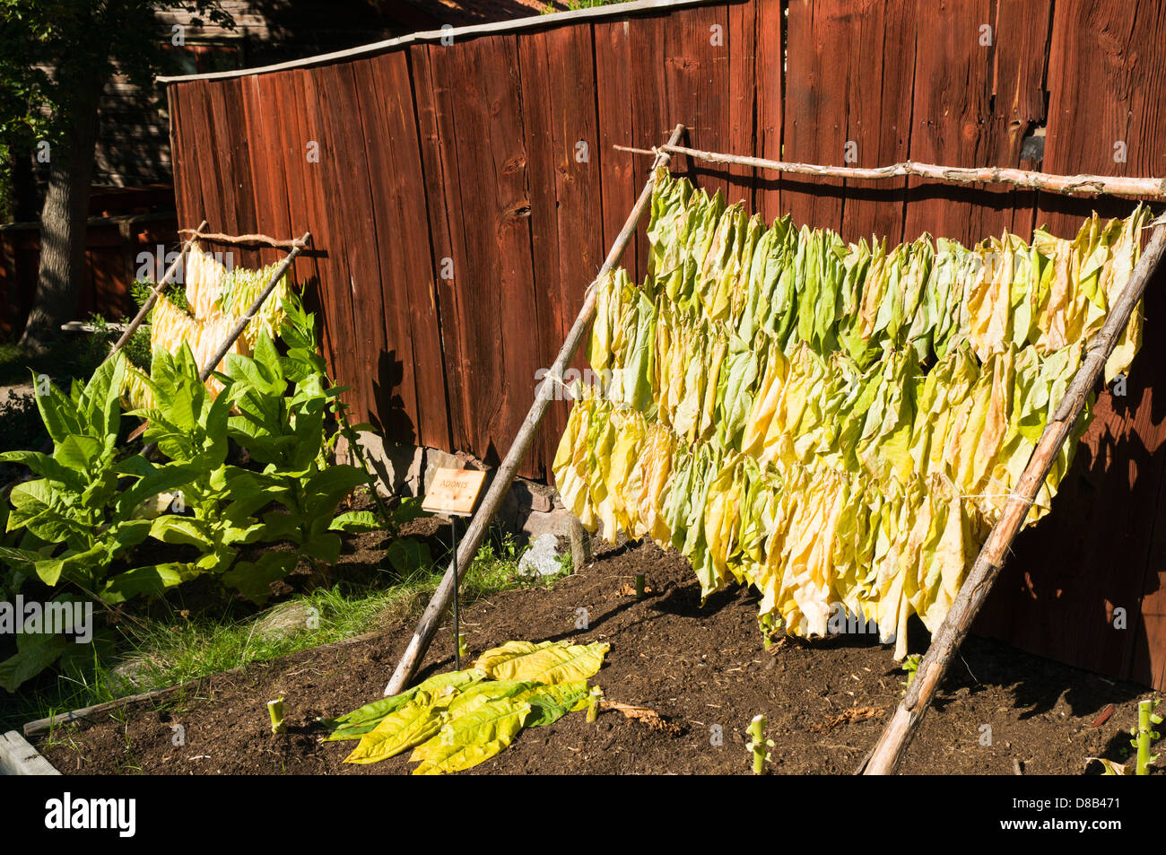 Homegrown tobacco leaves hanging to dry at Skansen open-air museum in Stockholm, Sweden - Stock Image