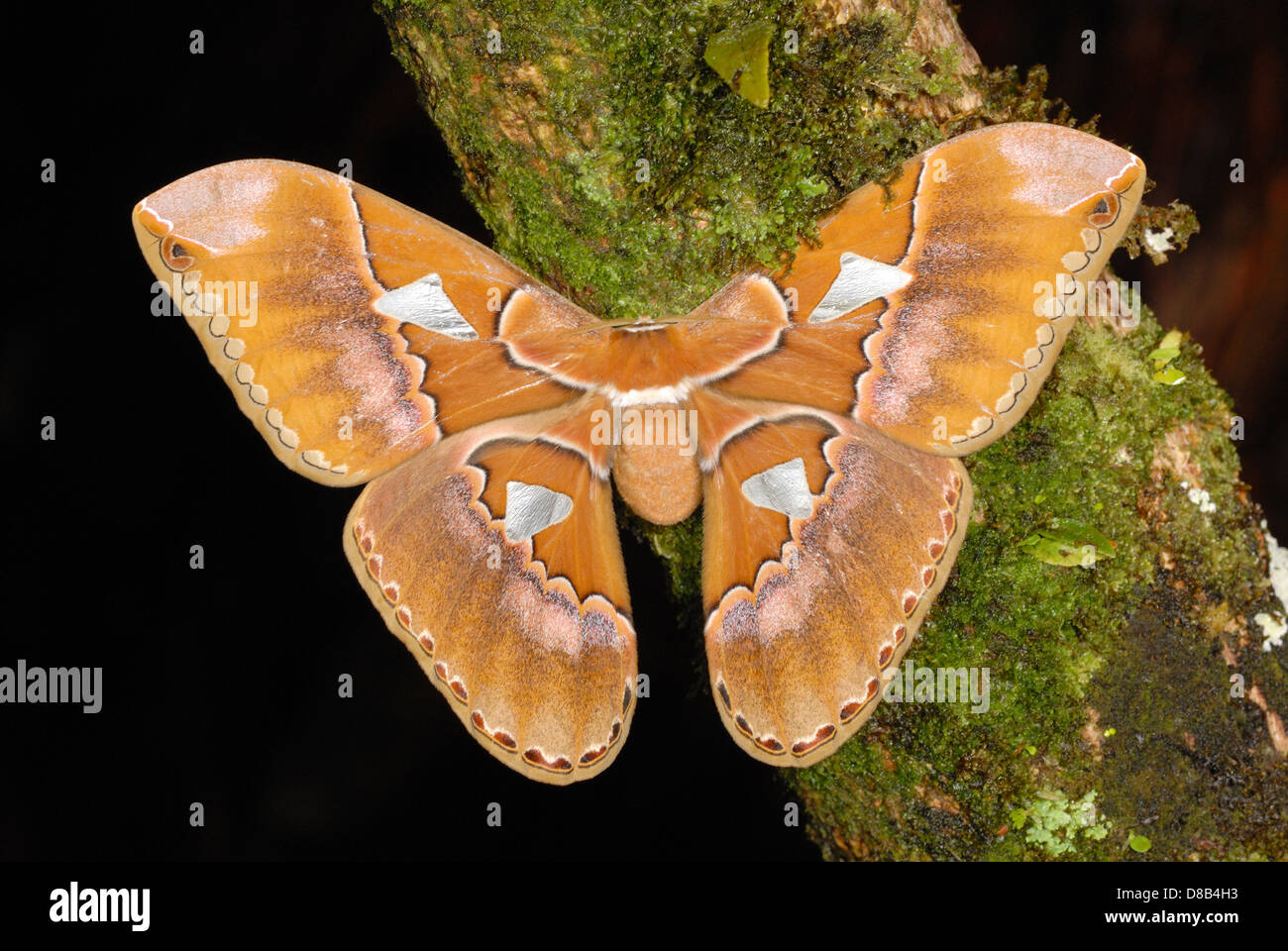 Giant Silk Moth (Rothschildia triloba) in the rainforest of Volcan Arenal National Park - Stock Image
