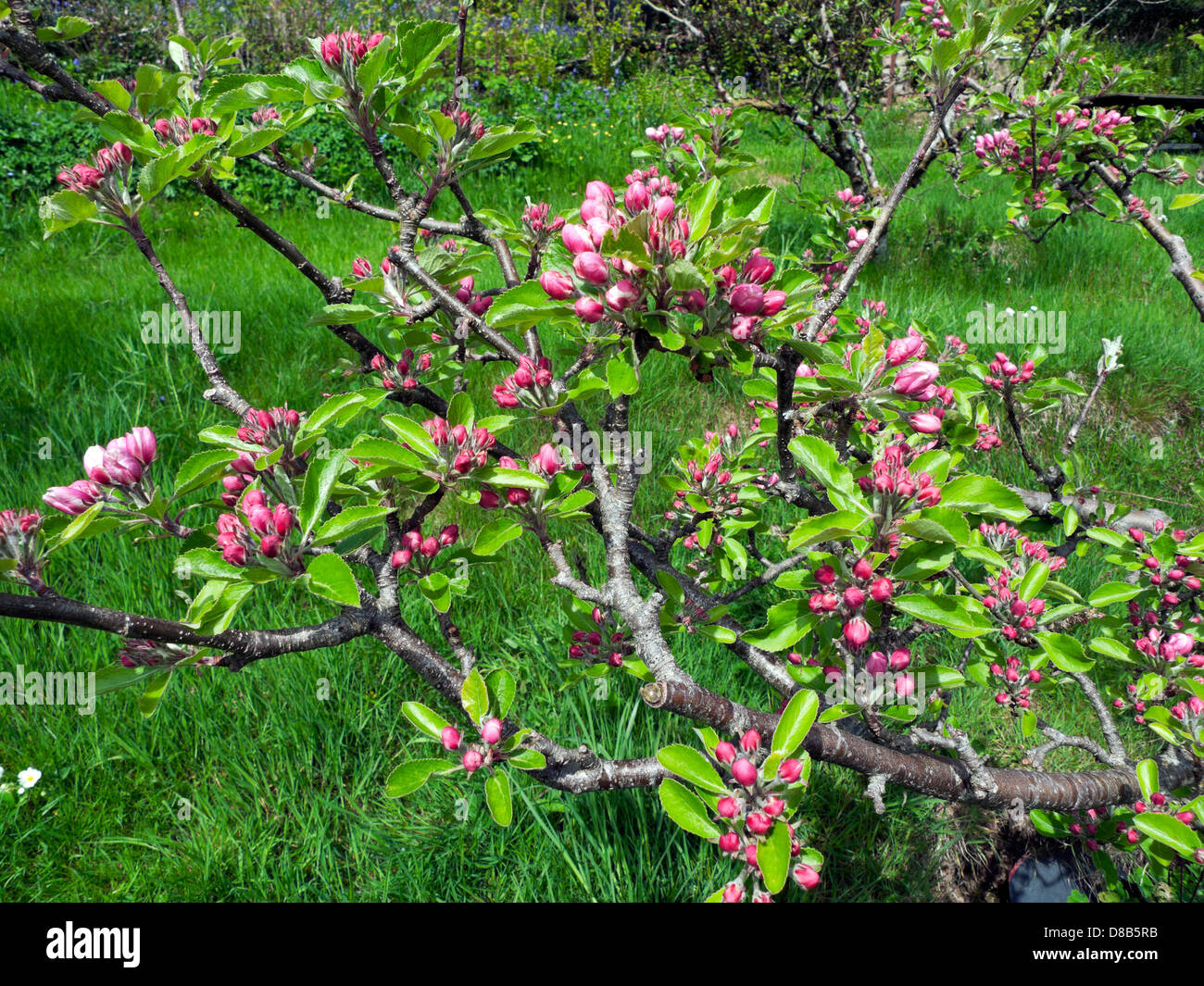 Apple Blossom on apple tree yet to fully open on 19 May 2013 in late onset spring Carmarthenshire Wales UK - Stock Image