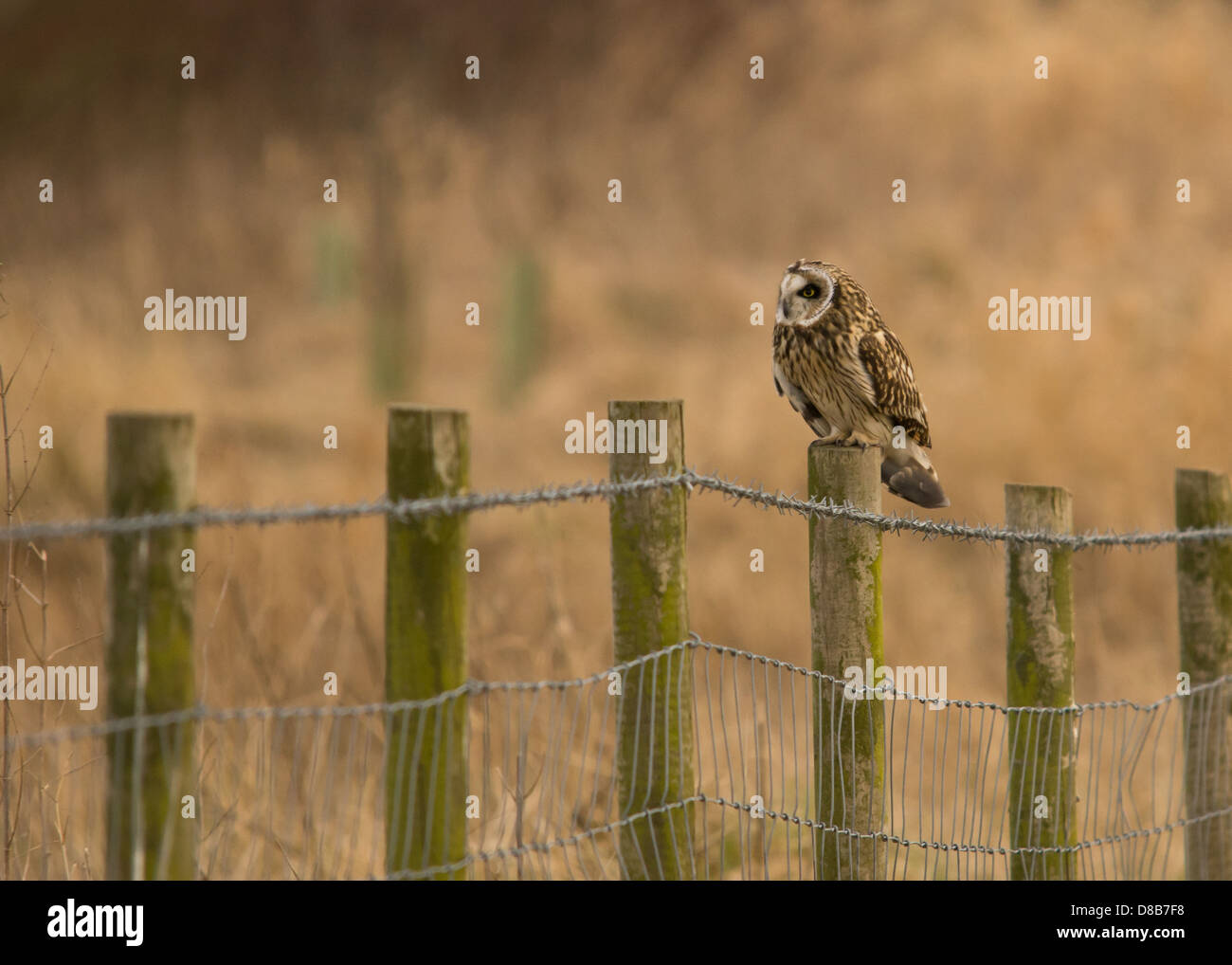A photo of a Short Eared Owl sitting on a fence post in Northumberland - Stock Image