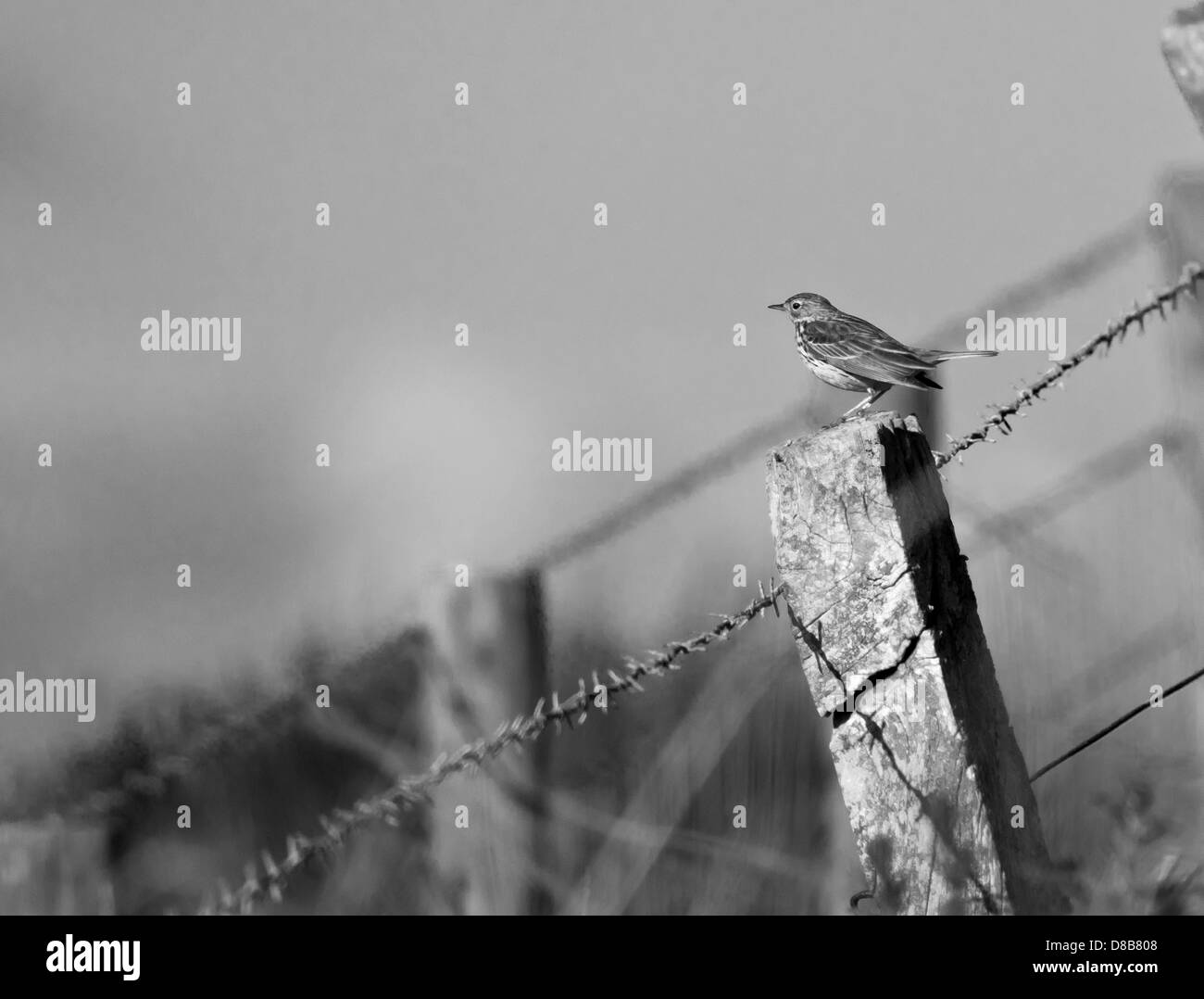 A pipit on a fence post - Stock Image