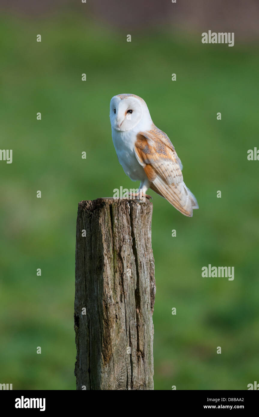 Barn Owl, tyto alba, adult perched on post in daylight , Norfolk, England - Stock Image