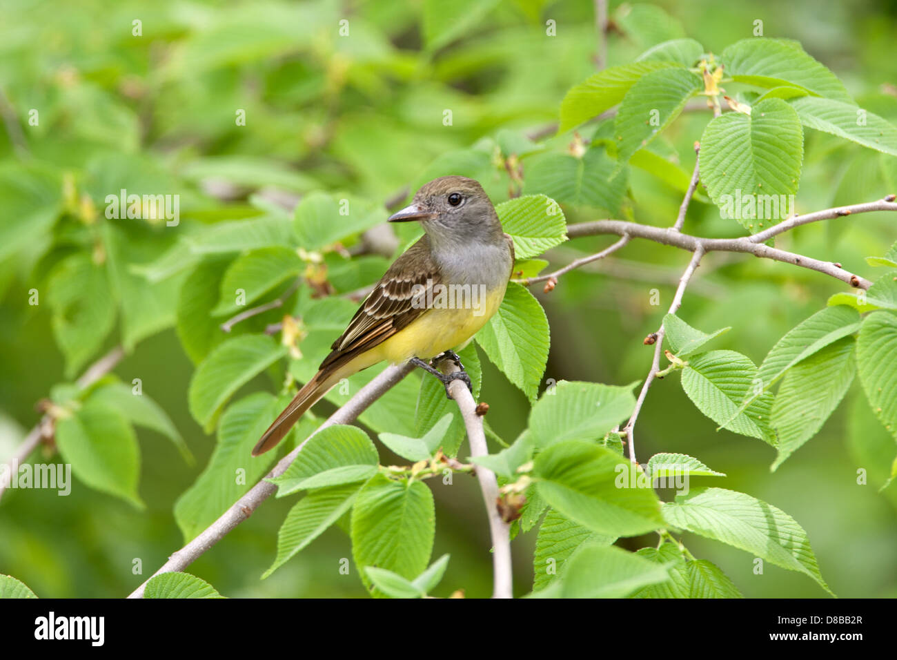 Great-Crested Flycatcher perching in Elm Tree - Stock Image