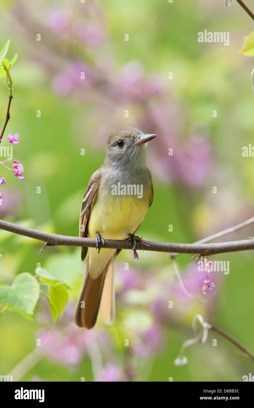 Great-Crested Flycatcher perching in Redbud Tree Blossoms - vertical - Stock Image