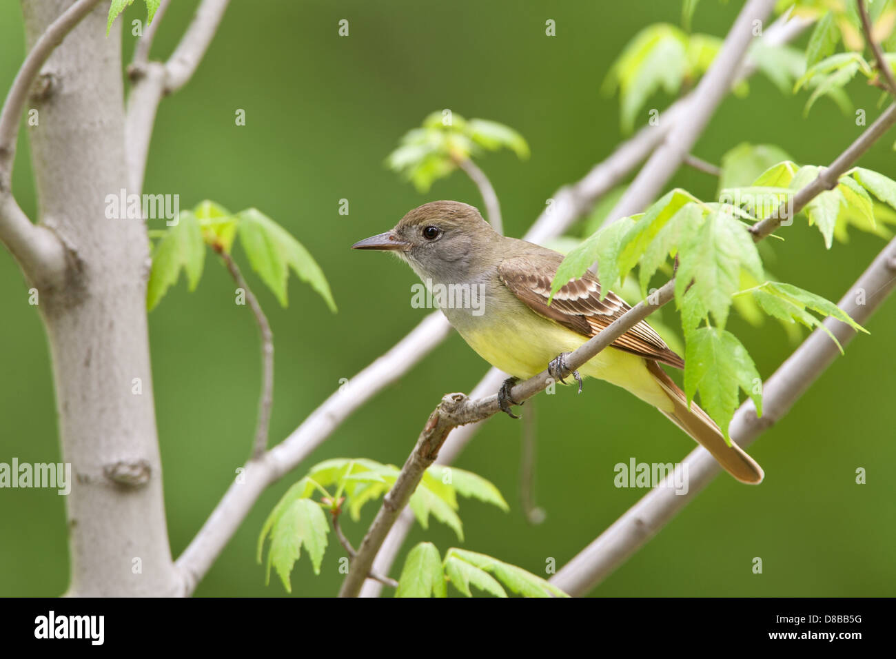 Great-Crested Flycatcher perching in Maple Tree - Stock Image