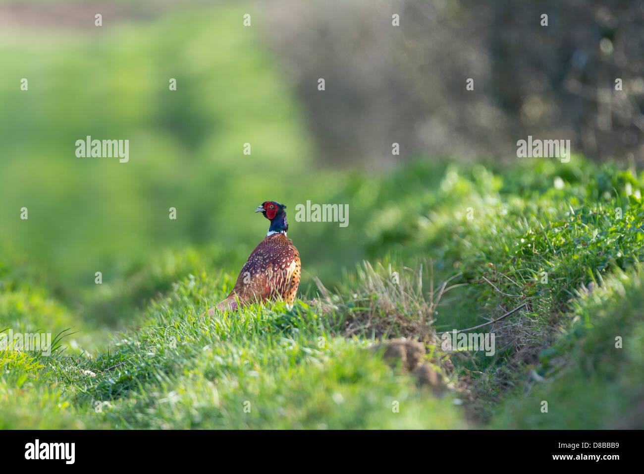 Common pheasant, Phasianus colchicus, male bird on headland, - Stock Image