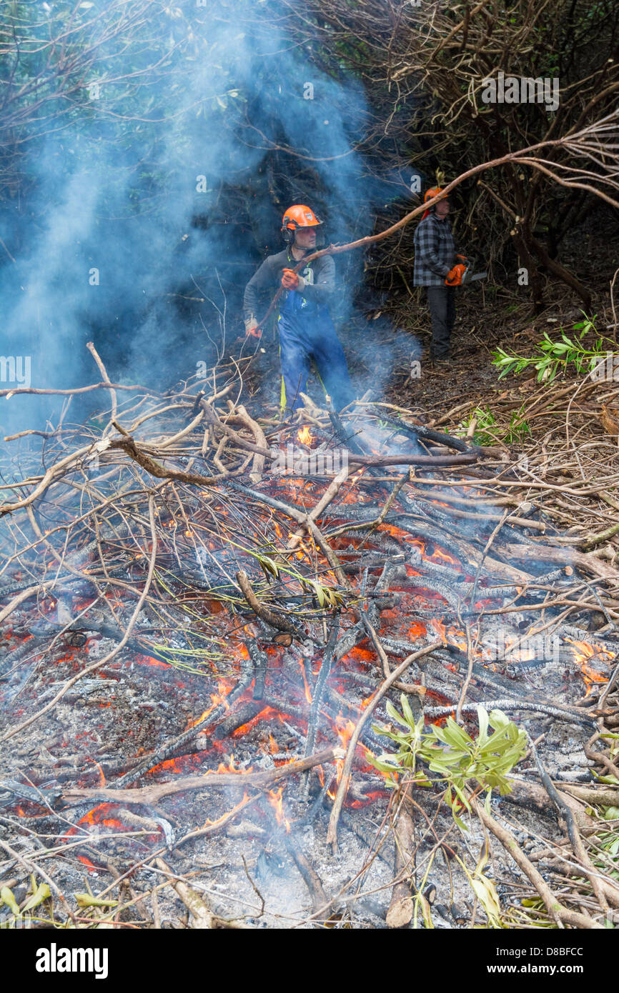 Scottish forestry workers controlling Rhododendron invasion by cutting and burning. - Stock Image