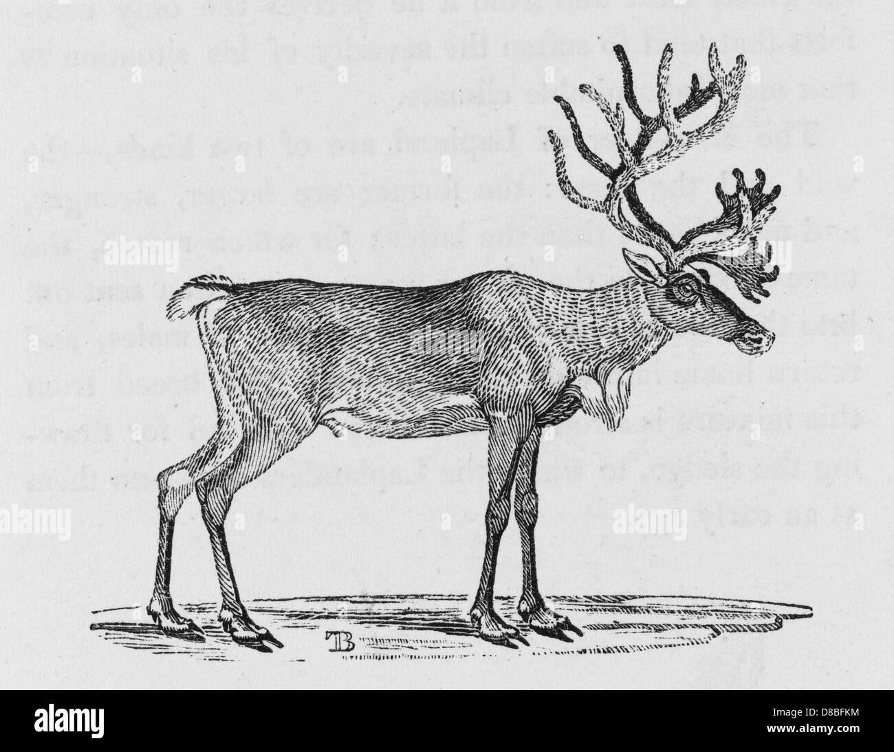 Reindeer Bewick - Stock Image