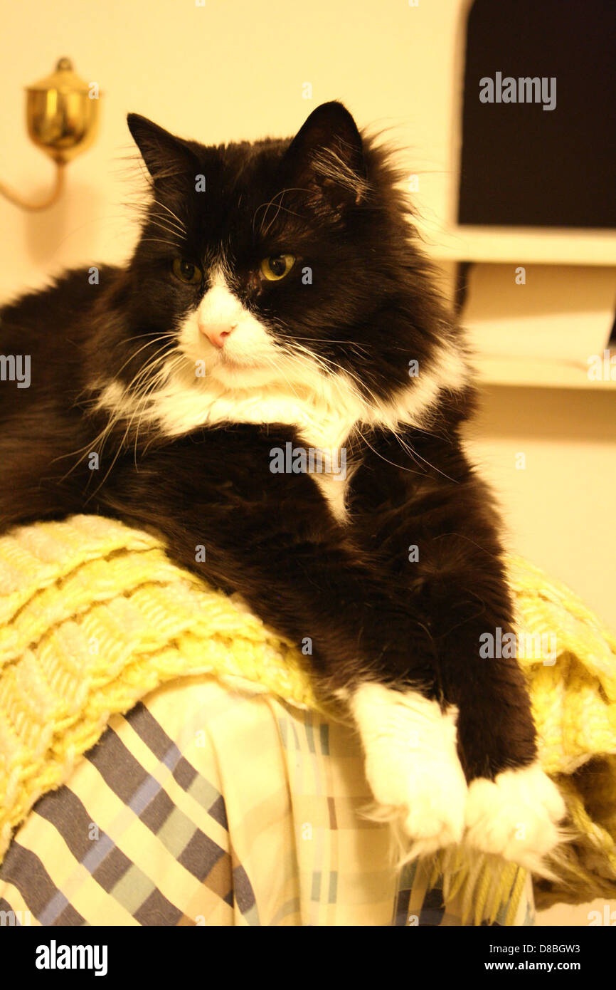 Long Haired Black And White Cats Stock Photo Alamy