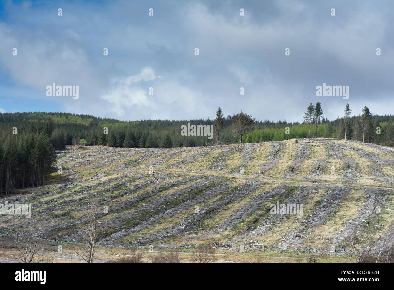 Coniferous forestry, Isle of Mull, Scotland - Stock Image