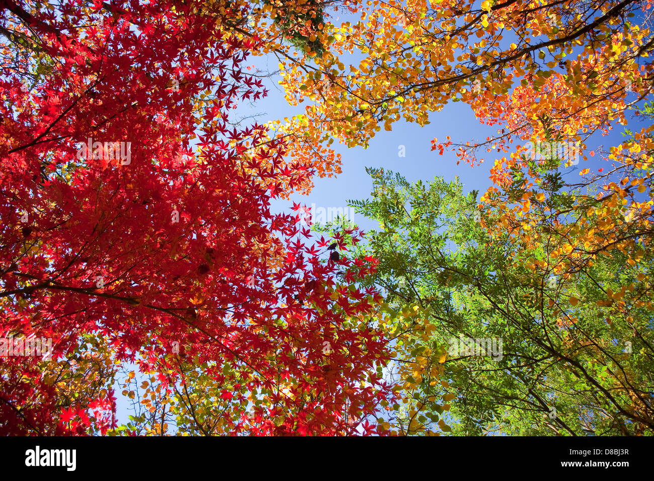 Brightly coloured Autumn leaves against a blue sky. Stock Photo