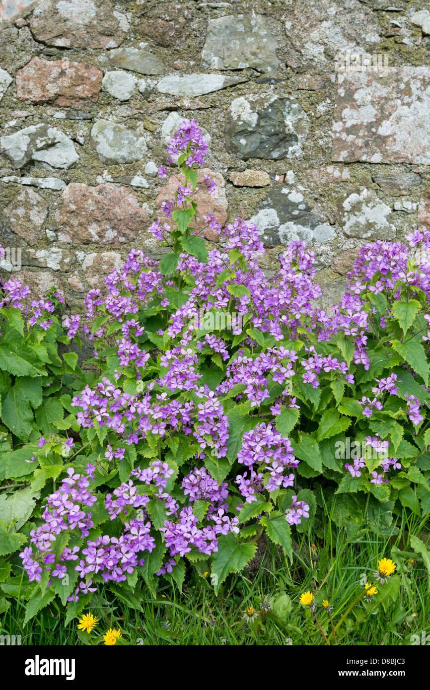 Biennial honesty (Lunaria annua), growing beside stone wall, Iona, inner Hebrides - Stock Image