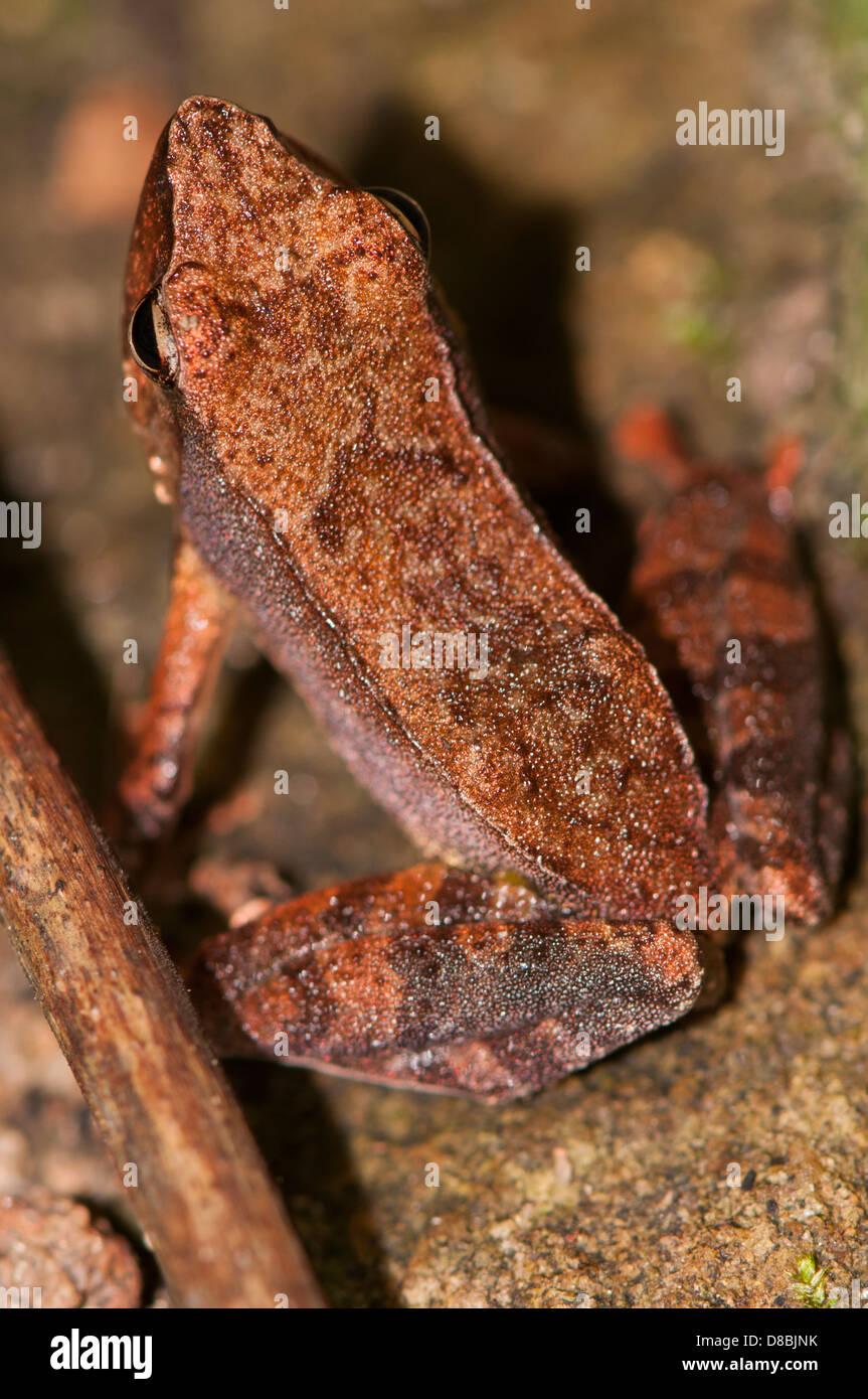 Bronzed frog, Hylarana temporalis,  peppara wildlife sanctuary kerala, western ghats India - Stock Image