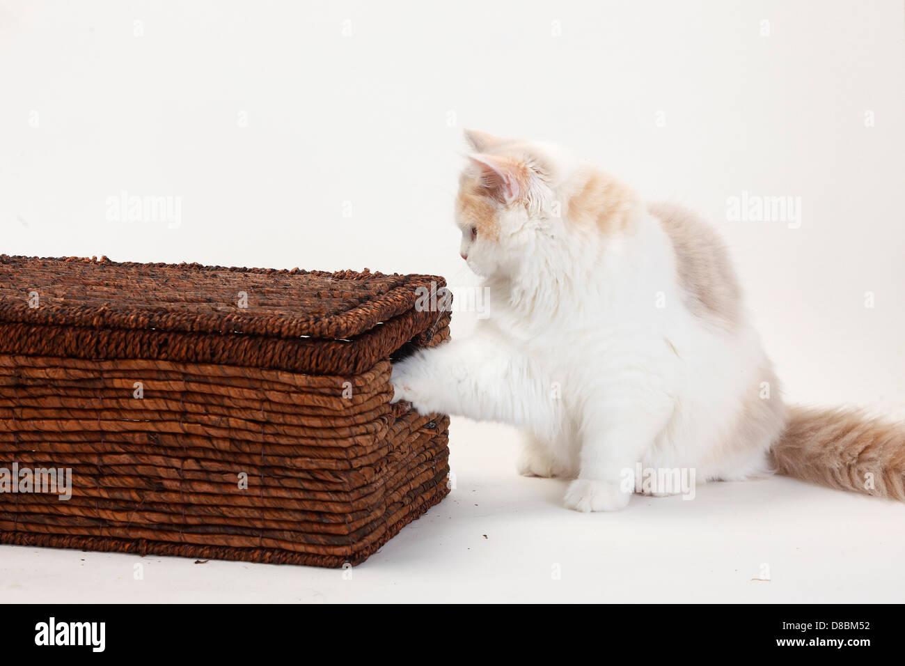 British Longhair Cat, kitten, lilac-tortie-white, 4 months / Highlander, Lowlander, Britanica, case - Stock Image