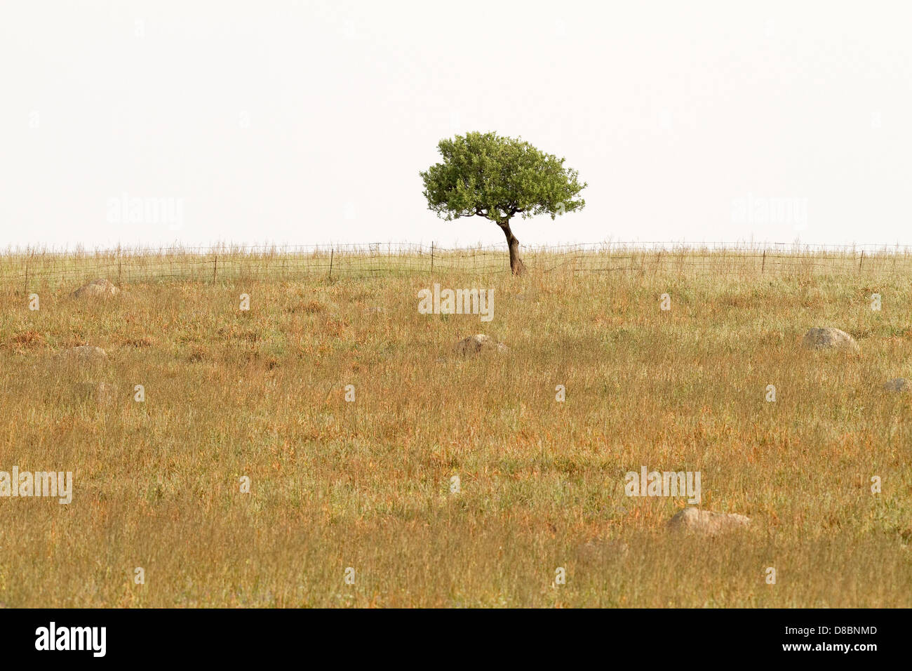 A tree standing lonely in a dried-grass field in the island of Lesvos, Greece - Stock Image