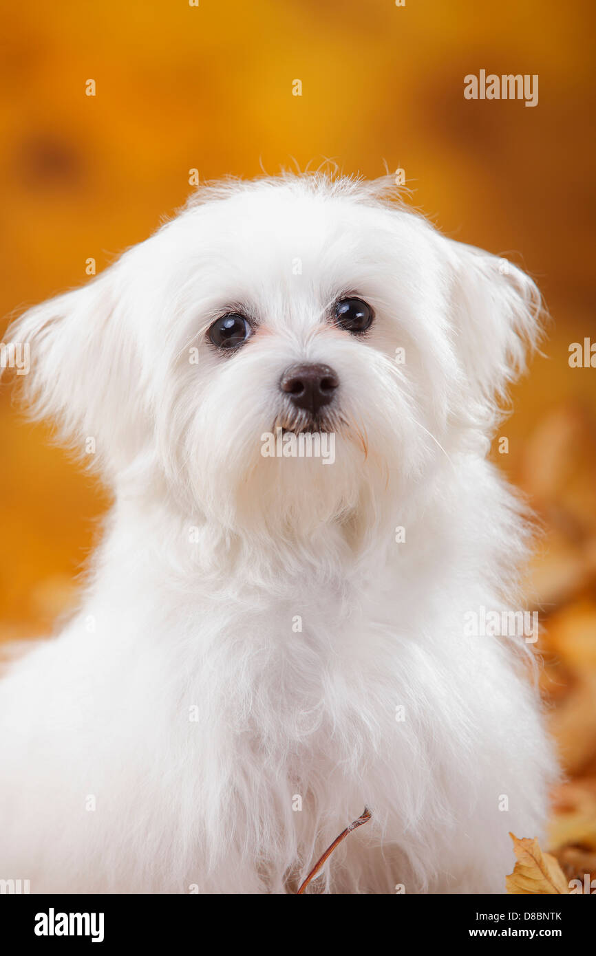 maltese puppy stock photos maltese puppy stock images. Black Bedroom Furniture Sets. Home Design Ideas