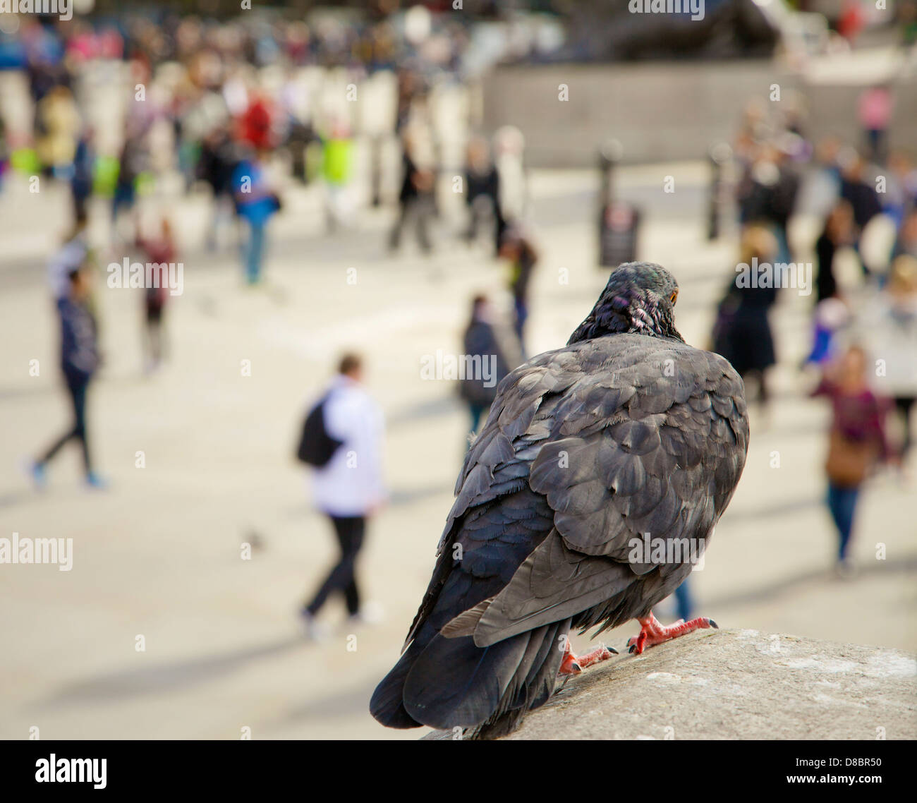 A close up of a pigeon at Trafalgar Square observing the crowds, London, UK. - Stock Image