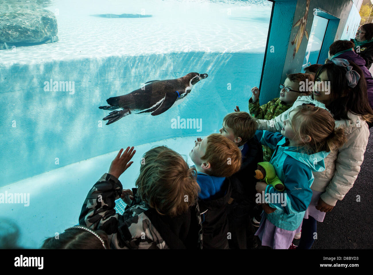 Tenby, Pembrokeshire, UK. 24th May 2013. 24.05.13 Children take a look at the Humboldt Penguins at the new Penguin Stock Photo