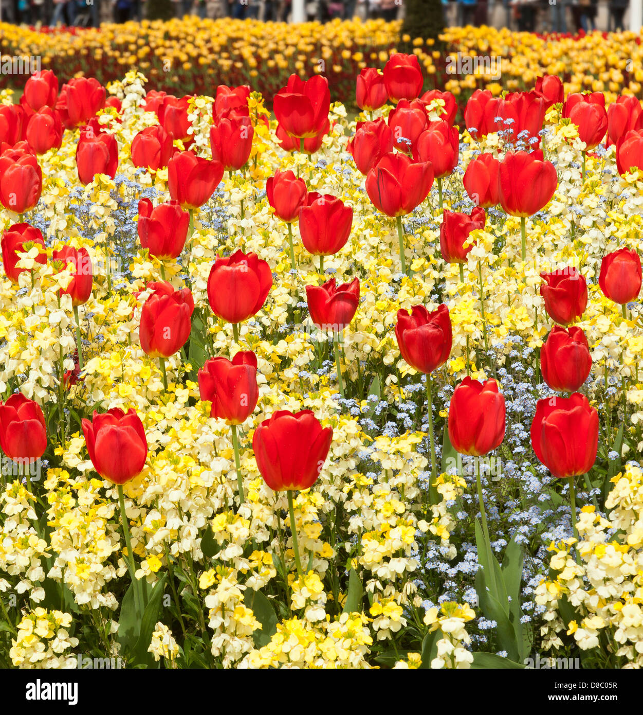 Red Tulips in a flower bed - Stock Image
