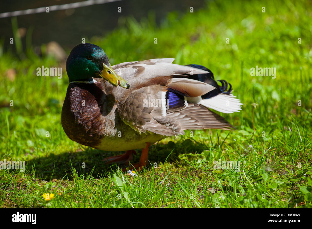 Portrait of duck with injured nose, green nature background. - Stock Image
