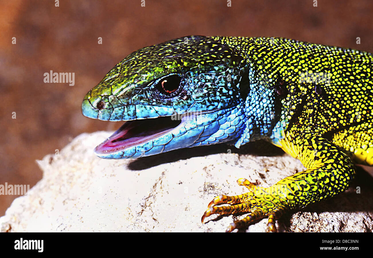 European green lizard (Lacerta viridis) Stock Photo