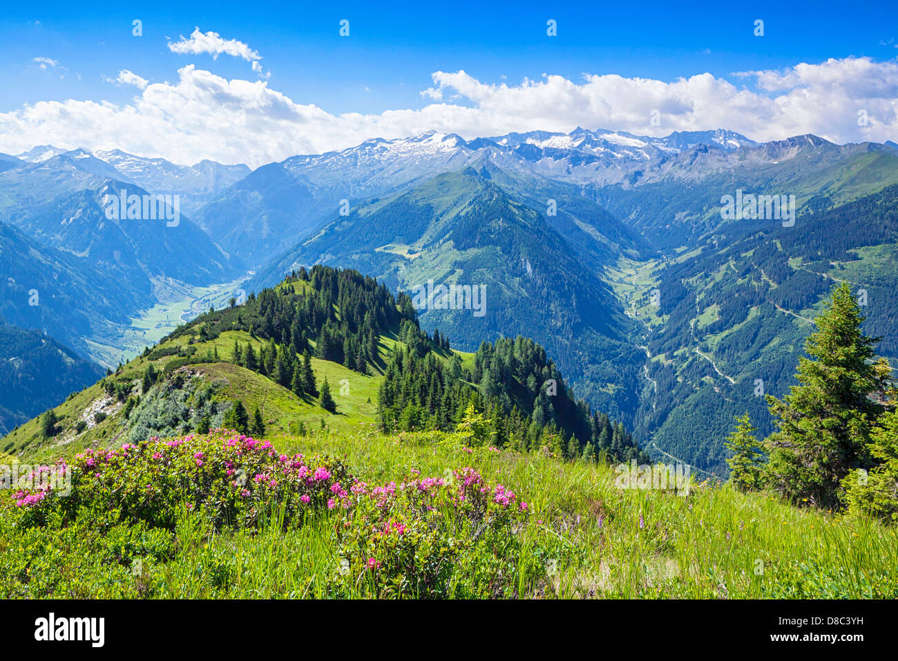 Ap with blooming hairy alpenrose (Rhododendron hirsutum) in Grossarl Valley, Austria - Stock Image