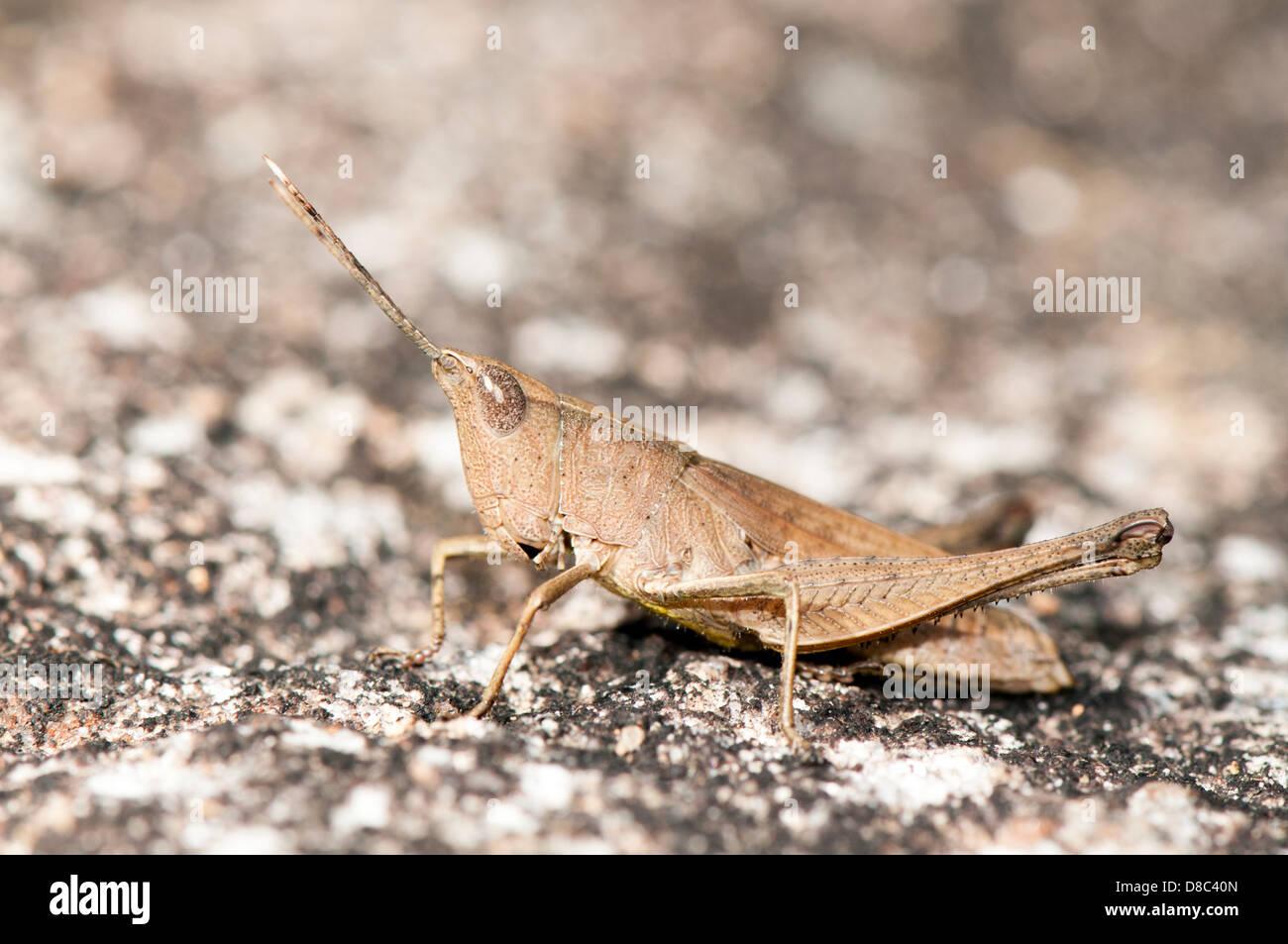 Slender Gum Leaf Grasshopper, close up - Stock Image
