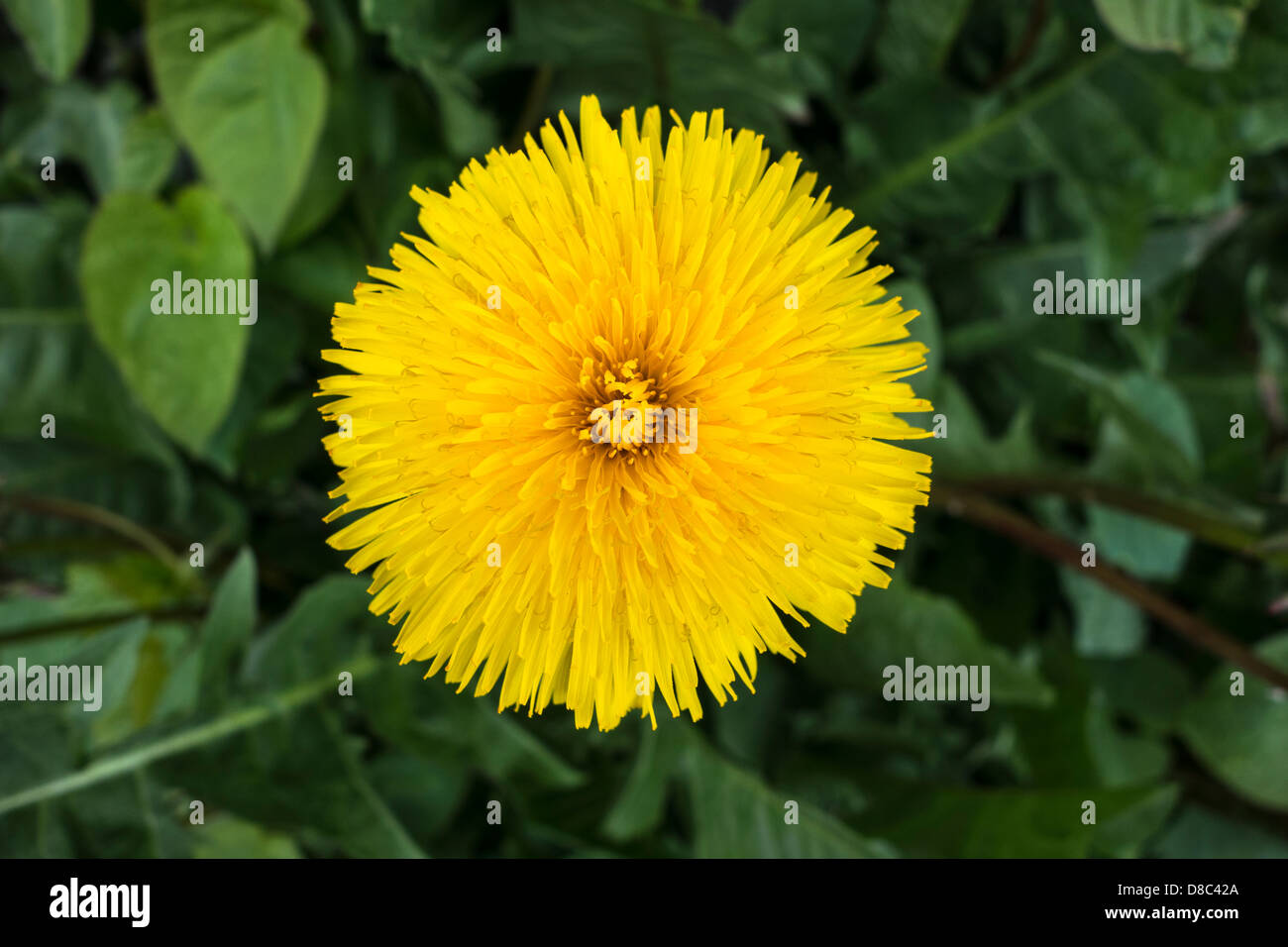 Closeup of a perfect Dandelion wild flower - Stock Image